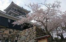 浜松城公園の桜も満開です。二人でお花見いいですね!