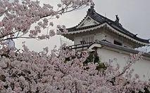 花曇りの浜松城公園の桜です...浜松駅前相談・カウンセラー加藤